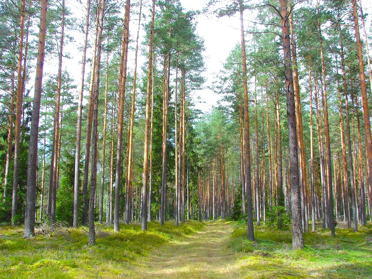 Latvian_Forest_Tomes_pagasts,_Ķeguma_novads,_Latvia